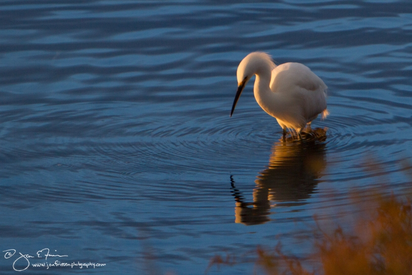 Bolsa Chica Ecological Reserve  Egret at Sunset-1273