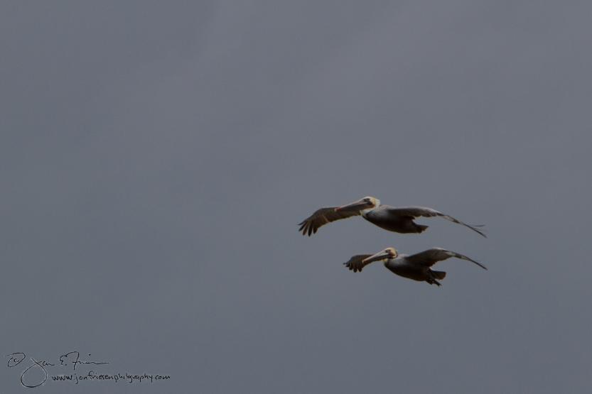 Cabrillo Tidepools Pelicans 2013-1504
