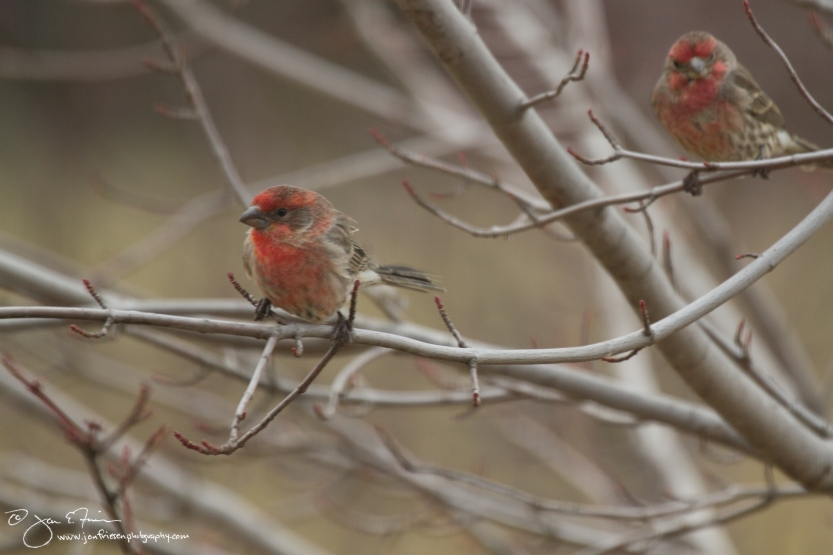House Finches-1797