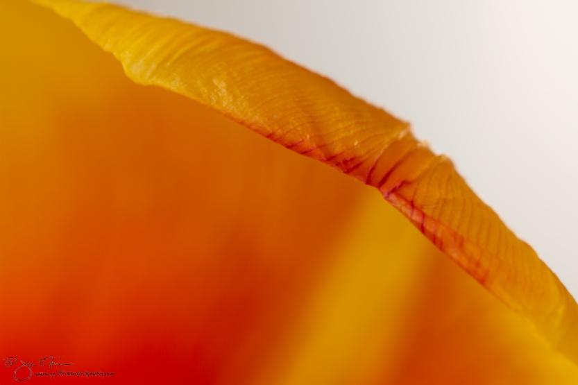 Tulip Petals-1709