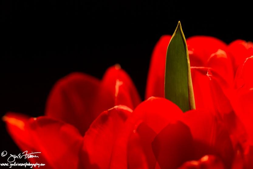 Tulip Petals IV-1804