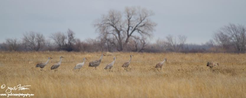 Cranes on the Move-1916