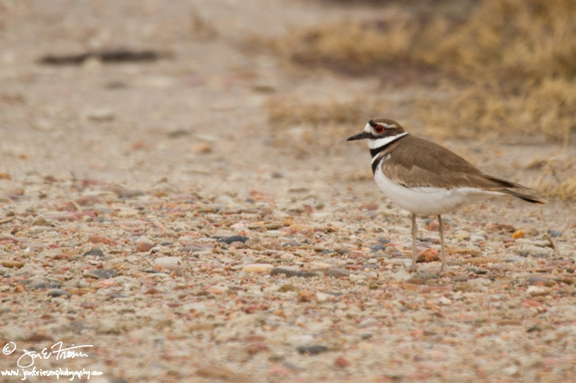 Killdeer-1893