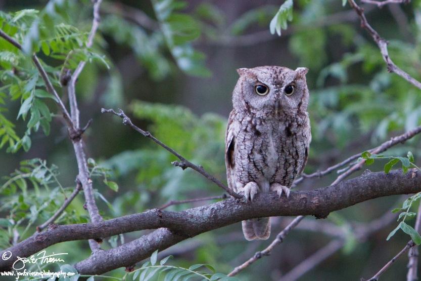 Eastern Screech Owl-2980