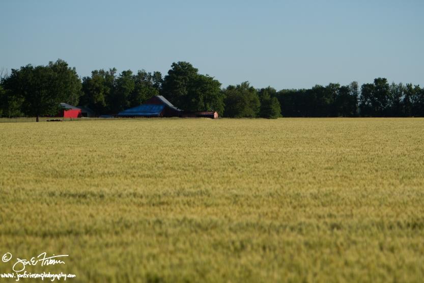 Turning Wheat-2520