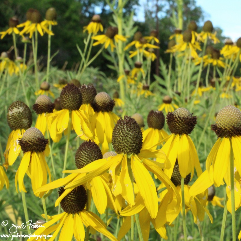 Black Eyed Susans-0230