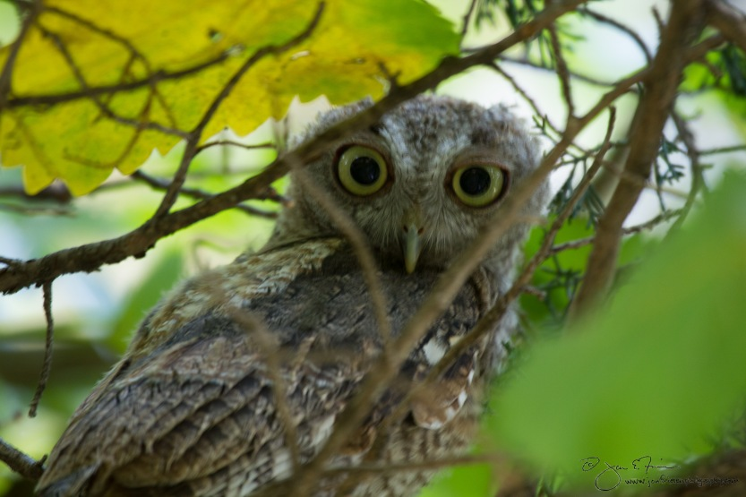 Screech Owl-3361