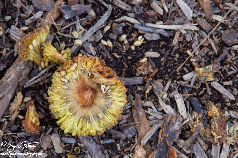 Hedge Apple in Winter Rot-5360