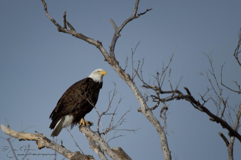 Bald Eagle-5449