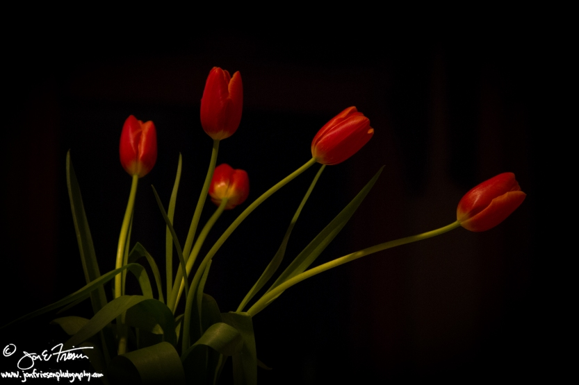 Tulips-6057
