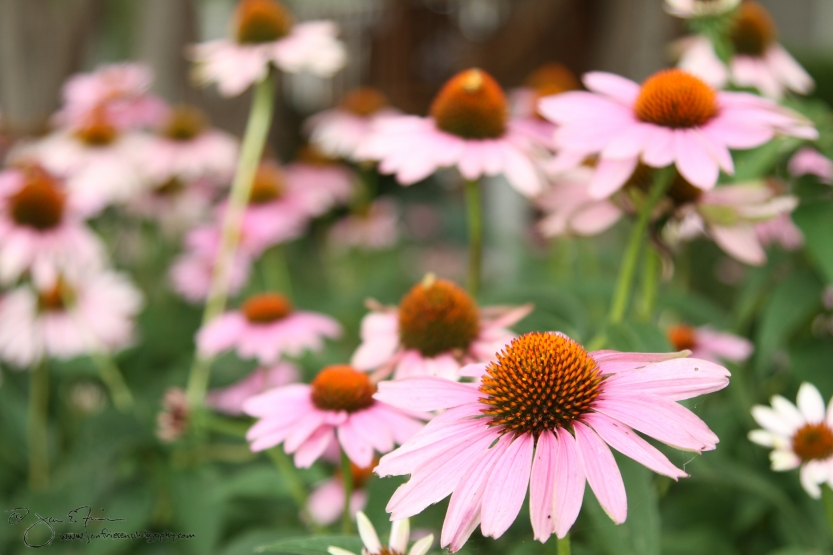 Cone Flowers-6100