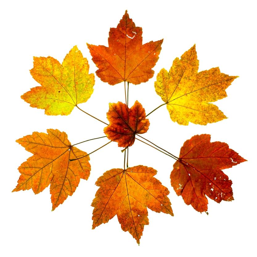 maple-leaves-5495