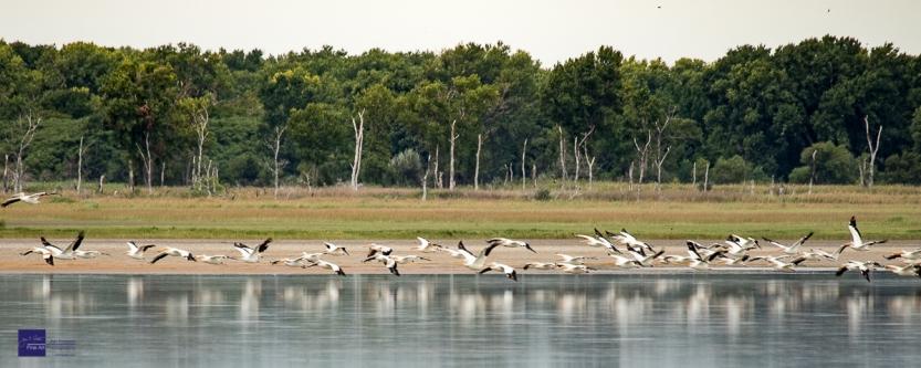 Quivira Pelicans in Flight-4473
