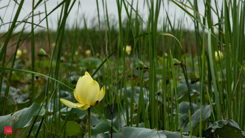 Wetland Water Lilies-5730
